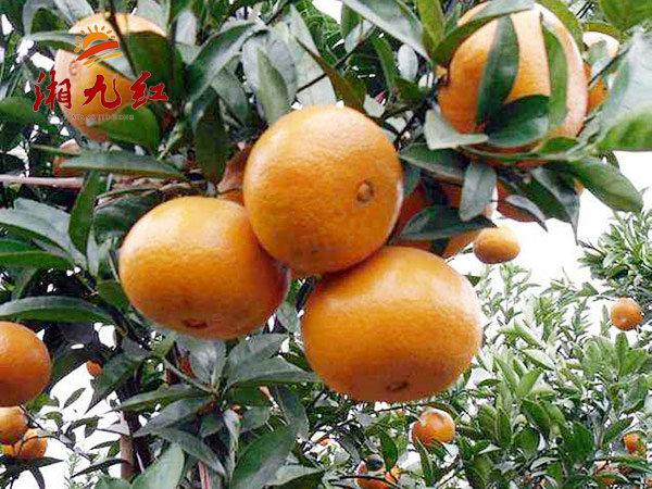 由良早熟蜜橘苗