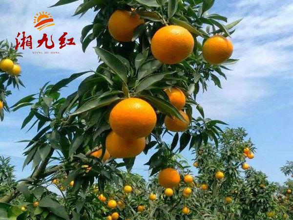 锦蜜冰糖橙苗