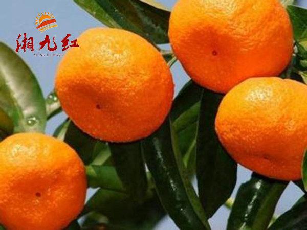 大分四号特早熟蜜橘苗